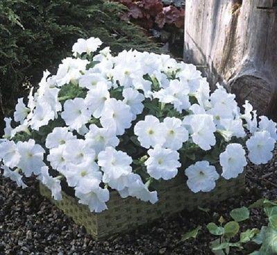 25 graines Trilogy pastillées Blanc Granulé Pétunia Garden Seeds Mises en chantier