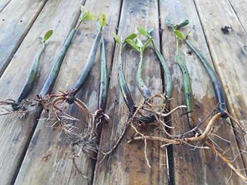 5 LIVE Mangroves - Red Mangrove Seedlings - Filtration, Aquarium, Reef, Tank, Saltwater, Aquatic, Plants