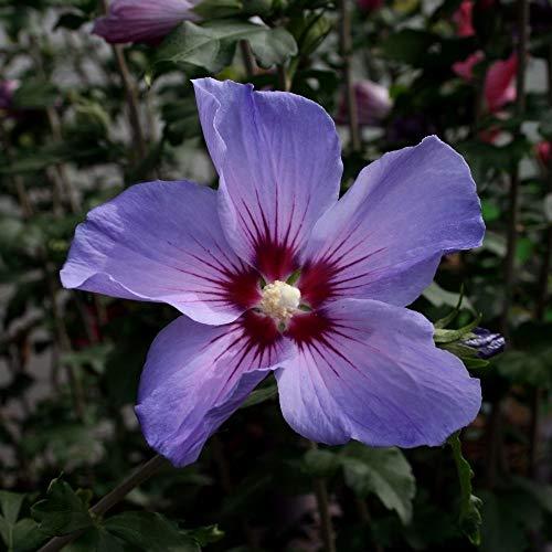 Hibiscus Stämmchen Hibiskus Garteneibisch 80cm Stamm Blue Bird Hamabo Woodbridge verschiedene Sorten (Blue Bird)