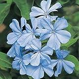 HEIRLOOM NON OGM blu Plumbago 10 semi