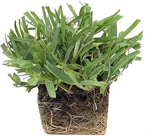 Palmetto St. Augustine Grass Plugs / Box of 72