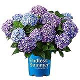 Endless Summer Bloomstruck Hydrangea Shrub 1 Gal. Bloomstruck...