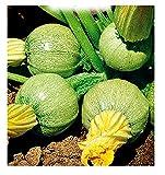 semi di zucchino tondo di nizza - verdure - cucurbita pepo - zi015 - i migliori semi di piante - fiori - frutti rare - zucchine - idea regalo originale - 70 sementi approssimativamente