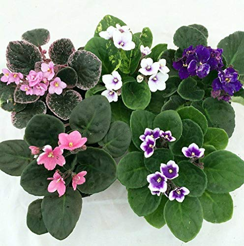 Plant African Violet Novelty 4' Clay Pot...
