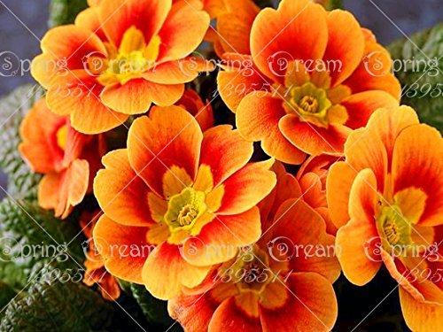 100pcs / sac Fragrant onagre, graines de fleurs, graines Bonsai Flower Pot bricolage Plante jardin
