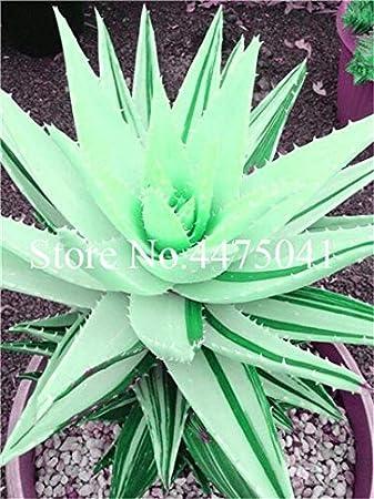 Kalash New 20 pcs Succulents Aloe Vera Plant Seeds for Gardening ...