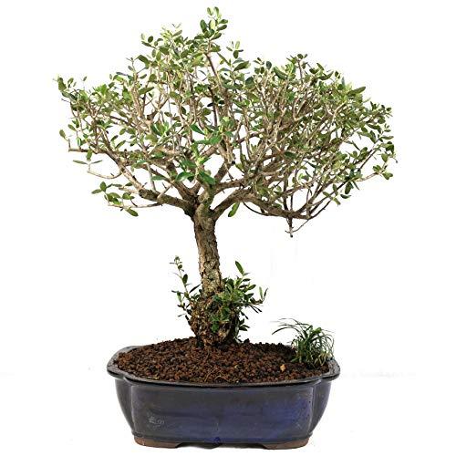 Bonsai, Olivenbaum, Olea europaea sylvetris, 18 Jahre, 43 cm Höhe