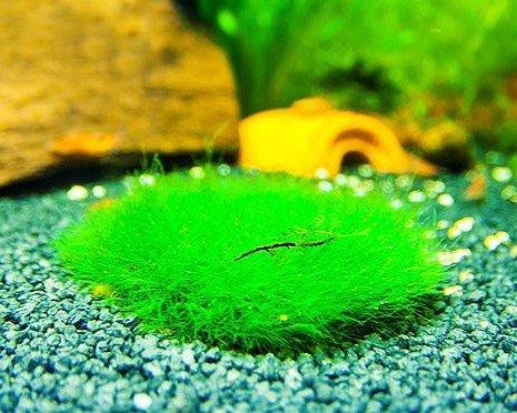 Gärtnerei - Garnelio Nanocoin mit auswählbaren Moosaufwuchs, Moos:Riccia - Teichlebermoos