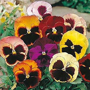 BloomGreen Co. Graines de fleurs: Pansy Hybrid Mix Graines -Jaune, brun, rouge, blanc et rose Mix Graines de plantes Terrasse Jardin Jardinerie [jardin Graines Eco Pack] Graines de plantes