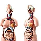 WFLRF Torse Humain Organes Internes Médicaux Anatomiques De Modèle Humain pour Enseignement Pratique Médicale Étudiants 23 Pièces 85CM Grandeur Nature