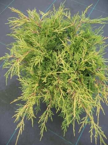gelber Kriech Wacholder Juniperus media Old Gold 40 cm breit im 3 Liter Pflanzcontainer