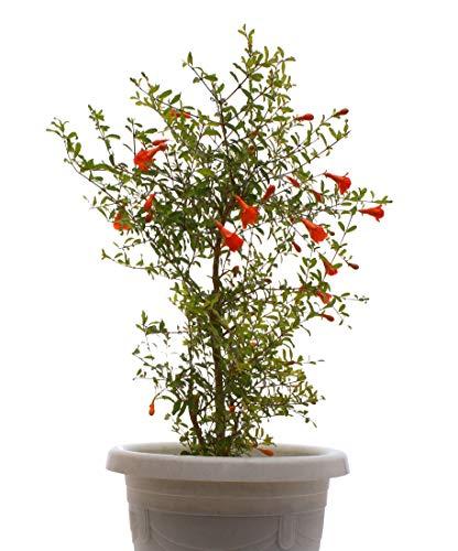 Seedeo® Zwerg Granatapfel (Punica granatum Nana) 30 Samen