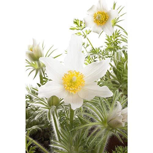 Pulsatilla vulgaris 'Alba' - Weißblühende Garten-Kuhschelle 'Alba' - 9cm Topf