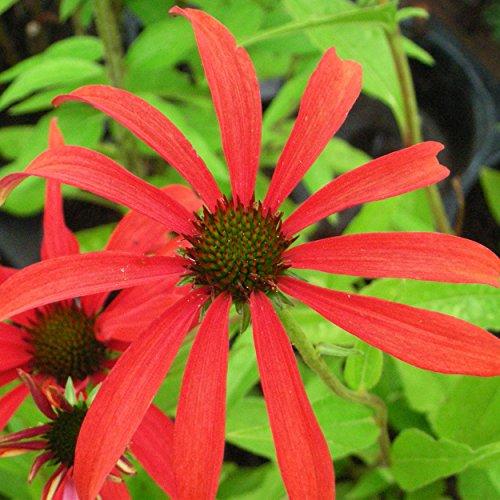 Blumixx Stauden Echinacea Hybride 'Tomato Soup' ® - Roter Sonnenhut rot