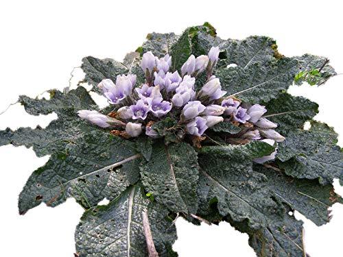 Gemeine Alraune 5 Samen (Mandragora officinarum)