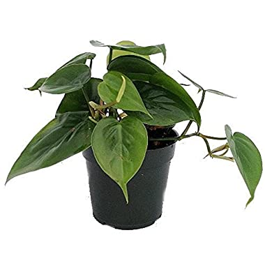 Heart Leaf Philodendron - Easiest House Plant to Grow - 4  Pot - Live Plant