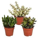 Mix 3 Succulentes | Crassula « Gollum », Portulacaria afra, Crassula « Hobbit » | Petites plantes vertes faciles...