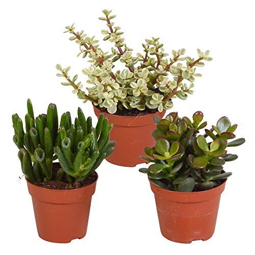 Mix 3 Succulente | Crassula'Gollum', Portulacaria afra, Crassula'Hobbit' | Piccole piante facili da curare | Altezza 12-15cm | Vaso Ø 9cm