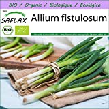SAFLAX - Ecológico - Cebolla tierna - Ishikura japonés - 150 semillas - Allium fistulosu...