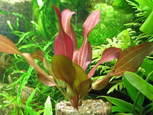 Echinodorus D'vall - Planta de Acuario en Vivo