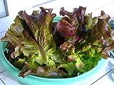 Red Romaine Lettuce Seeds- Heirloom- 2,000+ Seeds by Ohio Heirloom Seeds