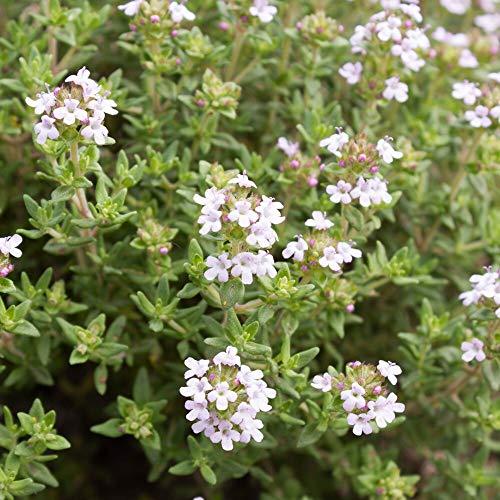 ca. 3000 Samen Feldthymian - Thymus serpyllum, idealer Bodendecker