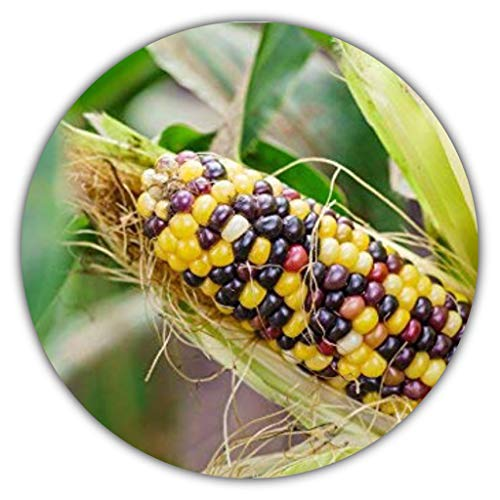 Samenquelle.de - der Samen Versand Maíz arcoíris/Multicolor, Aprox. 20 Semillas, Forma primitiva, autosuficiente