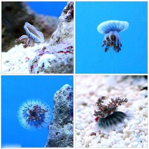 (海水魚 クラゲ)サカサクラゲ Sサイズ(1匹) 本州・四国限定[生体]