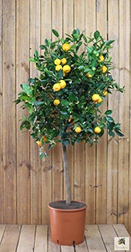 Meine Orangerie Calamondin Grande - veredelte Calamondin Orange im 9-Liter Topf - echter Citrusbaum - 120 bis 150 cm - Calamansi - fruchtreifer Zitrusbaum in Gärtnerqualität - Mini-Orangenbäumchen