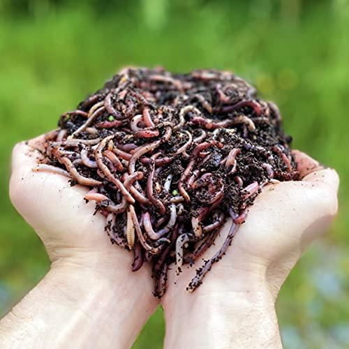 Lombrices 500g (1,000 uds. Aprox.) | Lombriz de Tierra vivas Eisenia, elabora Compost con Tus residuos orgánicos - para vermicompostador / compostador / jardín