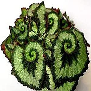 Silk Flower Arrangements 100 pcs Begonia Seeds, Potted Flower Seeds,Begonia Plants for Mini Garden,Variety Complete,The Budding Rate 9100%, (Mixed Colors)