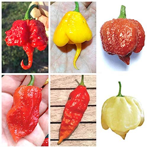 60 Samen der 6 Heißesten Chilis der Welt, Sammlung 6 + Leitfaden: Carolina Reaper Red, Carolina Reaper Yellow, Scorpion Moruga Caramel, Red Bhutlah, Bhut Jolokia / Ghost Chili, 7 Topf White