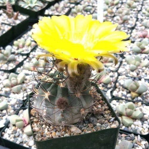 Acanthocalycium glaucum Cactus New product Plant Ranking TOP14 - Pot 3.5 inch 1