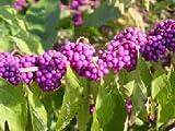 American Beauty Berry - Callicarpa americana - 25 seeds - beautyberry