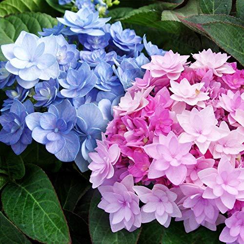 Eastbride winterhart Blumensamen,Hortensiensamen, Vier Jahreszeiten blühende Gartenblume Pflanze-50 Kapseln_U,Steingarten & Staudenbeet