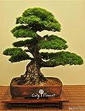 SEEDSOWN 50 Japonais pin Noir Graines pour Le Bricolage Jardin Bonsai Facile à cultiver à partir de graines