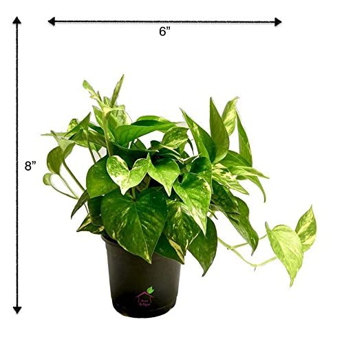 Root Bridges Indoor Green Money Plant (Pot included)