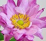 Hayloft Anemone Pamina  Japanese Anemone Plant  Hardy Perennial  Windflower  Pink Flowers 3 x 9cm Pot