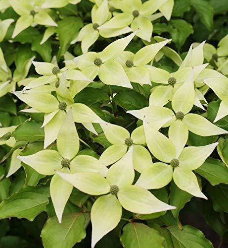 Japanischer Blumenhartriegel Teresa...