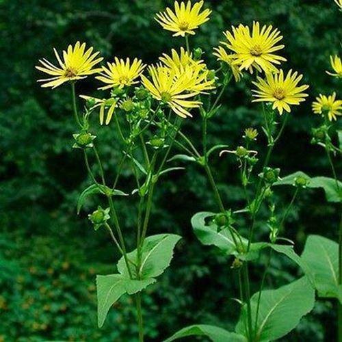 15 Samen Silphium Cup Pflanzensamen (Silphium Perfoliatum)