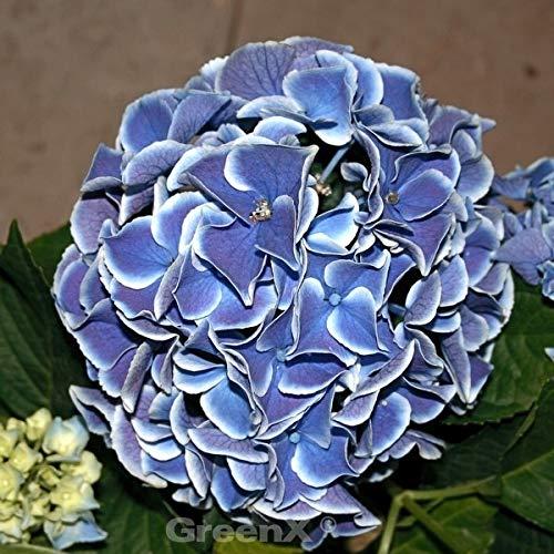 Bauernhortensie Tivoli® Blue 30-40cm -...