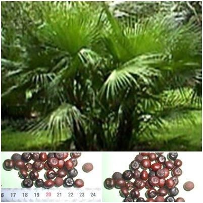 Palmetto Palme - 20 Samen - Sabal palmetto