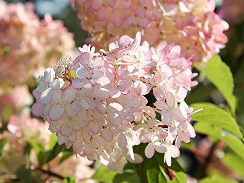 Rispenhortensie Pinky Winky® - Blüte pink & rosa - Hydrangea paniculata Pinky Winky - Containerware 40-60 cm - Garten von Ehren®