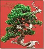 Portal Cool ** Semillas de enebro Ãrbol de los bonsais Chinos * Juniperus chinensis * Las Semillas Frescas