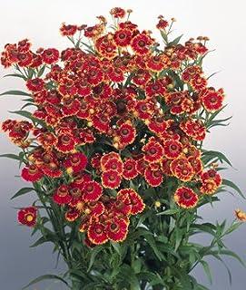 Helenium autumnale Helena Red Shades 30 Seeds