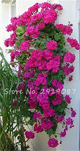 50 Pz Esotico Geranium Albero Perenne Seme Pelargonium Peltatum Fiori in vaso Geranio pianta dei bonsai Albero di bellezza il vostro giardino 5