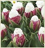 Tulpenzwiebeln, Seltene Rote Weiße Tulpenzwiebeln Bonsai Tulip Flower ,Hausgarten Topfpflanzen Mehrjährige Blumenzwiebeln-10zwiebeln