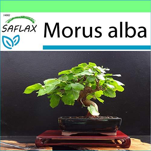 SAFLAX - Jardin dans la boîte - Mûrier blanc - 200 graines - Morus alba