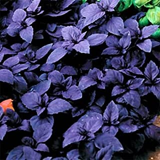 Outsidepride Sweet Basil Dark Opal - 1000 Seeds