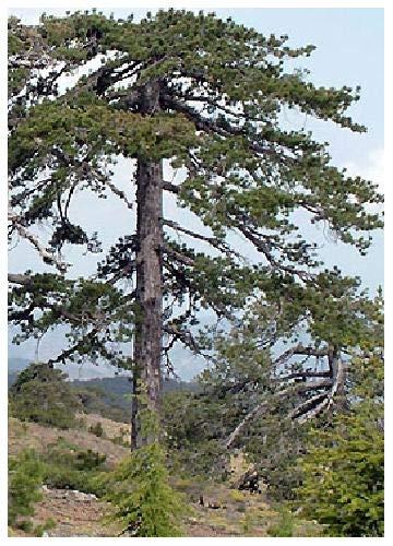 TROPICA - Pin noir d'Alaska (Pinus nigra) - 50 graines- Résistant au froid